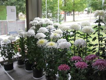 白菊の清楚な佇まい