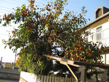 たわわに生った柿の実