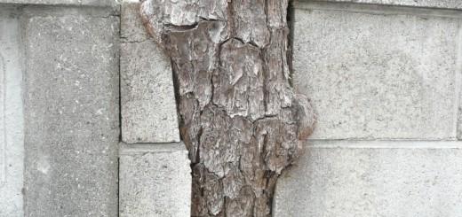ブロック塀と松