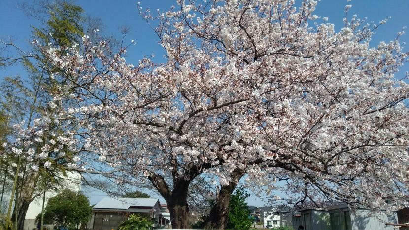 やまびこ桜4月