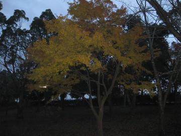 創造の杜の黄葉のもみじ